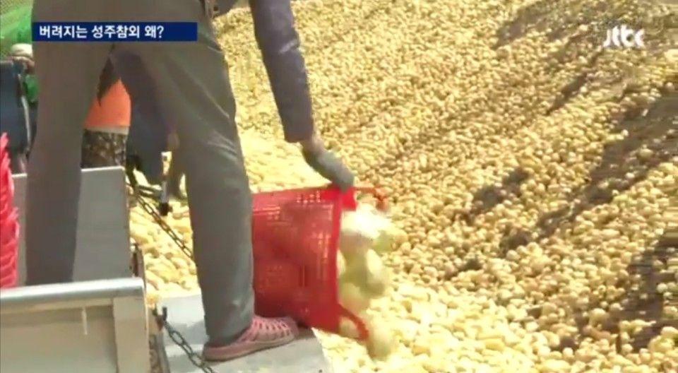 (사진) 최근 11,000여톤이 버려 진 성주 참외 / 사진제공 = JTBC 화면 캡쳐