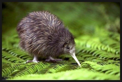(사진) 뉴질랜드 국조(國鳥)인 키위 새